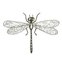 Vector dragonfly illustration, hand drawn sketch