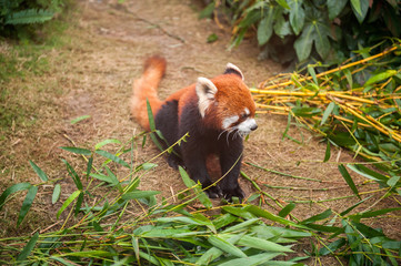 Red panda sitting in a zoo