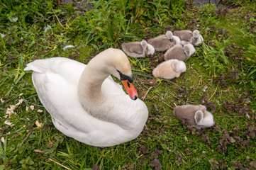Swan nesting with young
