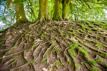 Large and exposed tree roots visable above ground