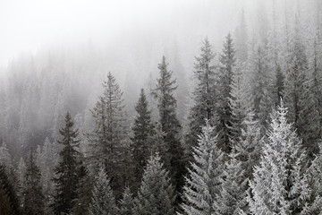 Frozen winter forest in the fog