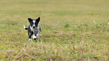 Border Collie pup running downhill