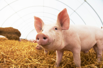Young piglet at pig breeding farm