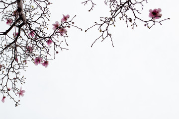 Japanese Magnolia Blossoms on White Background