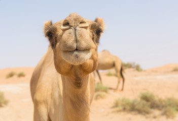 Fotobehang Kameel wild camel in the hot dry middle eastern desert uae