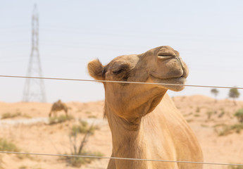wild camel in the hot dry middle eastern desert uae