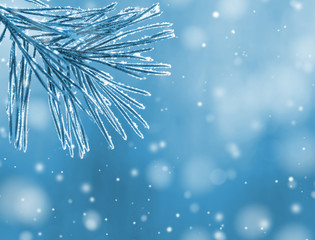 Winter natural background with pine branches frosted