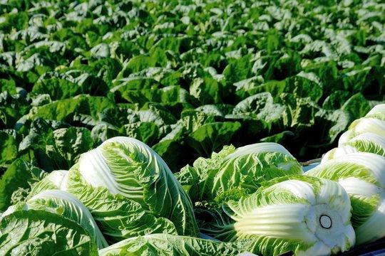 白菜畑と収穫した白菜