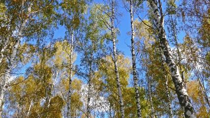 Wall Mural - autumn birch forest, 4k