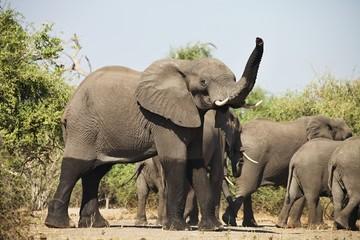 African elephants, Loxodon africana, in Chobe National Park, Botswana