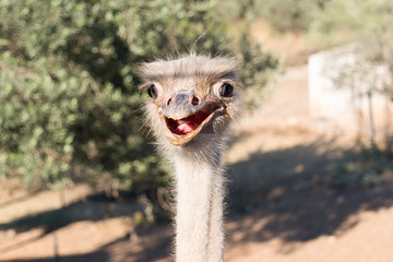 Ostrich funny portrait.