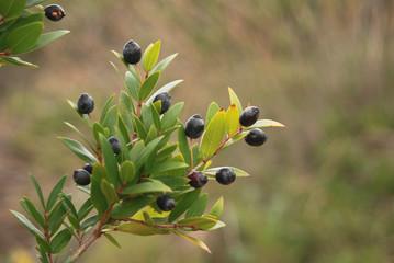 ramo con bacche nere di mirto (Myrtus communis)
