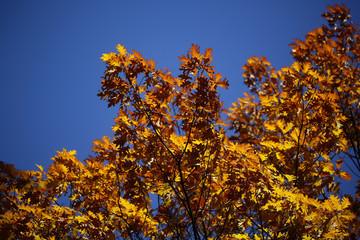 Tops of golden-leaved oak trees