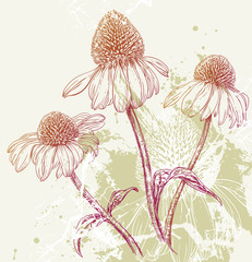 Hand drawn illustration of Echinacea Purple Coneflowers isolated on textured background
