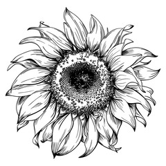 Hand drawn sunflower head isolated on white background
