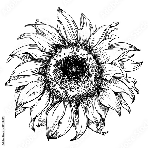 Flower Head Line Drawing : Quot hand drawn sunflower head isolated on white background