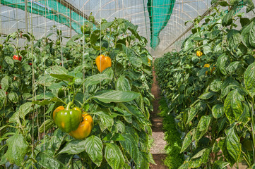 Cultivation  bell peppers in a commercial greenhouse ; Located Chiang Mai Province , Thailand