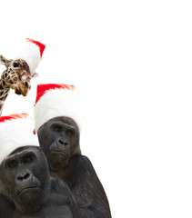 two gorillas and giraffe a Santa Claus hat
