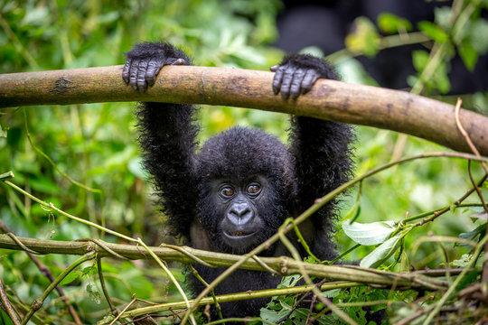 Gorila trek inside Virunga National Park in Democratic Republic of Congo