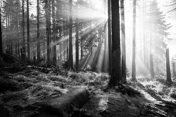 Lichtstrahlen im Wald - monochrom
