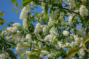 Branches with blooming white flowers