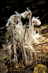 Indian pipes, Monotropa unifloria, growing in a forest in Sunapee, New Hampshire.