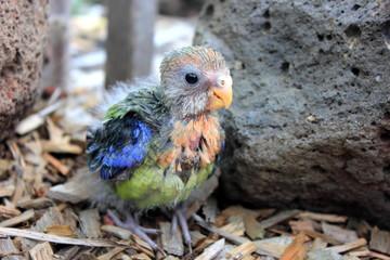 Hand reared baby Australian eastern Rosella standing on bark in rockery