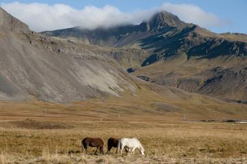 Horse Pasture - Iceland