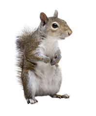 Photo sur Aluminium Squirrel The American gray squirrel paw anxiously pressed to his chest