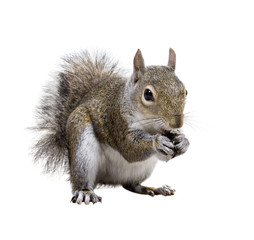 Foto op Aluminium Eekhoorn Young squirrel with shells of sunflower seeds on a white backgro