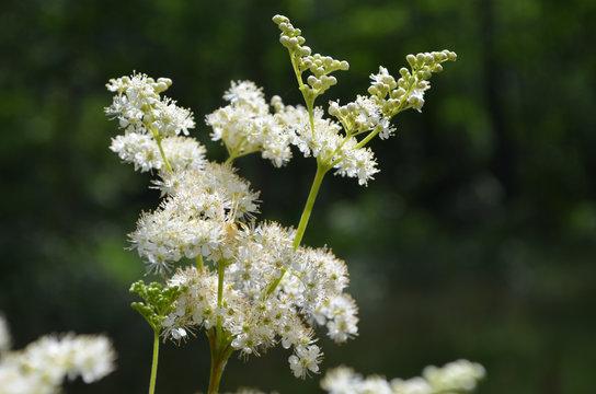 White flowers of meadowsweet in forest understory