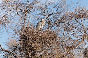 Grey heron perching on bare tree with nest