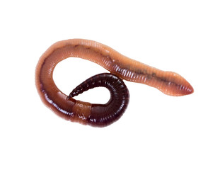 Canadian fishing worm on a white background