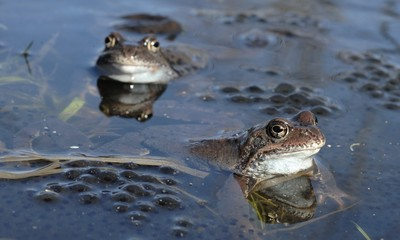 Copulation of The common frog (Rana temporaria) mating, also known as the European common frog, European common brown frog, or European grass frog,