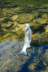 Caught the bait rainbow trout