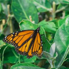 Monarch Butterfly on Leaf