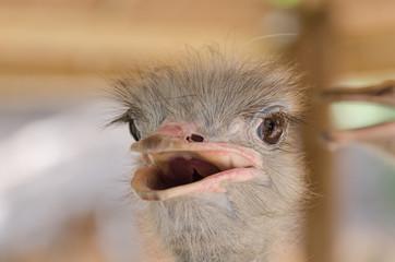 Close-up Head Shot of One Ostrich.