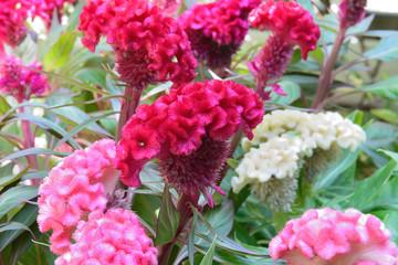 cockscomb celosia red flowers, selective focus