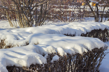 Bushes covered with snow in Siberia