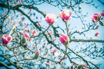 Magnolia Tulip Tree Wall mural