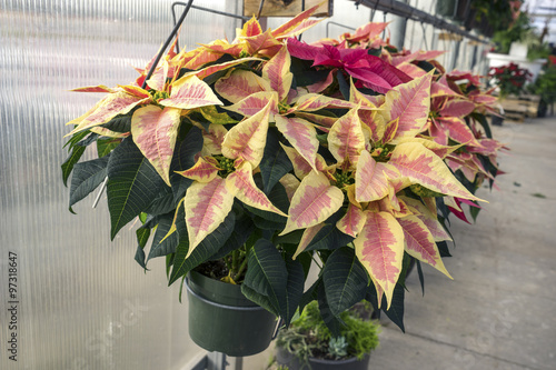 Peachy Colored Christmas Poinsettias In Pots On Display In A Garden