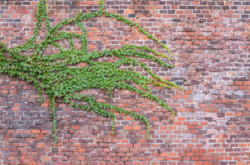 Old red brick wall overgrown with ivy