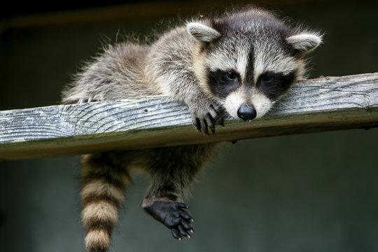 Baby raccoon ventures from nest