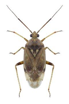 Bug Lygus rugulipennis