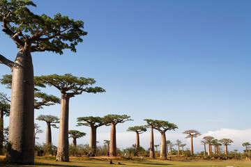 Photo sur Aluminium Baobab Allée des Baobabs