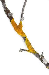 Orange lichen xanthoria polycarpa on white background