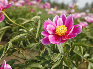 The peony in the park