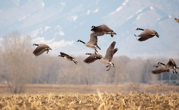 Geese starting in flight.