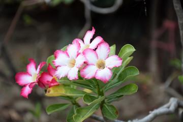 Impala Lily flowers. Impala Lily. Desert rose flower from tropical climate. Rose flower from tropical climate. Desert Rose. Mock Azalea. Pinkbignonia