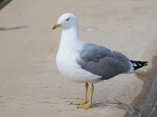clever curious seagull looks